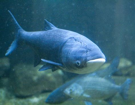 tracking asian carp by what they leave behind michigan radio