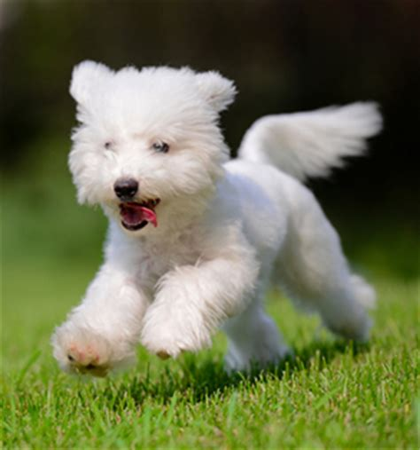 what were havanese bred for meet the breed havanese