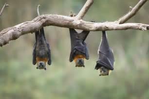 Bats In Magic1059 Bat