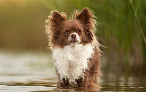 long hair chihuahua hair growth what to expect long haired chihuahua information dog breed atlas