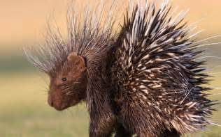 can porcupines shoot their quills wonderopolis