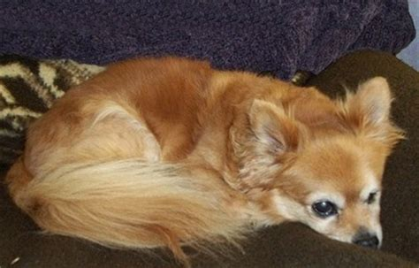 how much is a pomeranian chihuahua mix chihuahua pomeranian mix breed photos thriftyfun