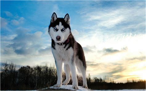 Dogs Wallpaper by Alaskan Husky Facts Pictures Puppies Breeders