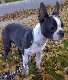 boston terrier puppies oklahoma boston terriers puppies in oklahoma city breeds picture