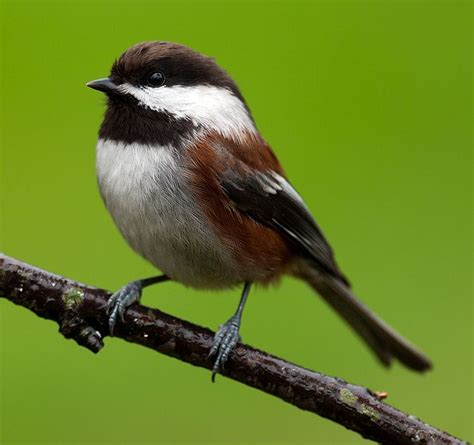 chestnut backed chickadee birds of a feather pinterest