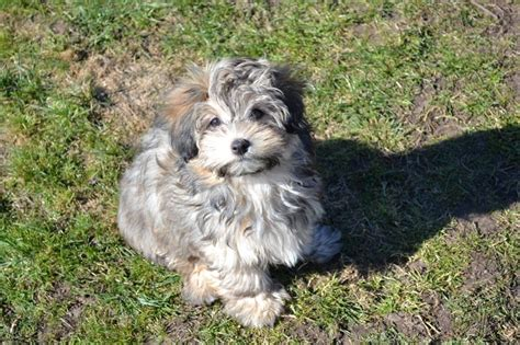 havanese breed information havanese breed information and puppy tips breeds picture