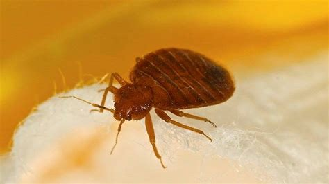 early signs of bed bugs 25 best ideas about signs of bed bugs on pinterest bed