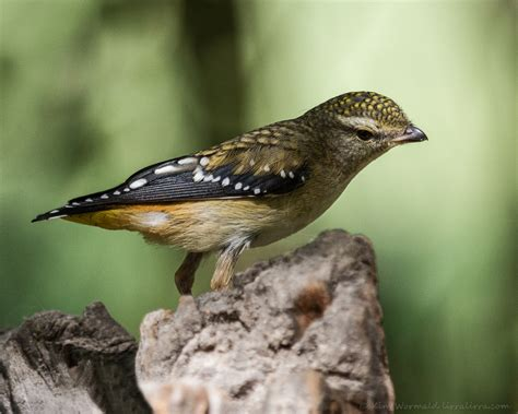 red browed finches pardalote and dotterel 171 lirralirra