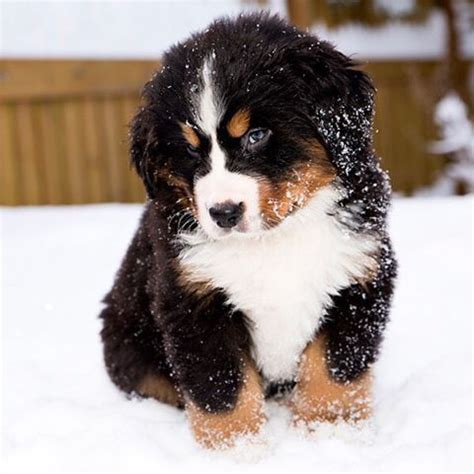 cutest big breeds big breeds www pixshark images galleries with a bite