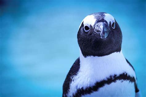 Celebrate African Penguin Awareness Day on 11 October ...