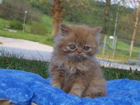 gatti persiani a pelo corto il persiano ovvero il gatto a pelo lungo per eccellenza