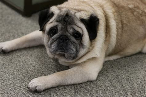 odie the pug what we can learn about networking from odie the pug koru