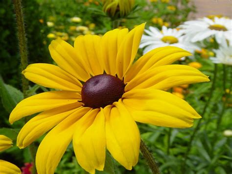 rudbeckia yellow flower image picture photo printable