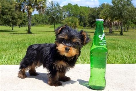 yorkie puppies for sale 200 dollars teacup chihuahuas for sale for 100 dollars for sale united states pets 1