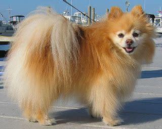 Pomeranian Shed by Dogs World