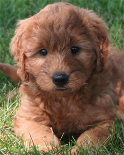 mini labradoodles michigan goldendoodles rescue michigan breeds picture