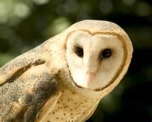 barn owl barn owl