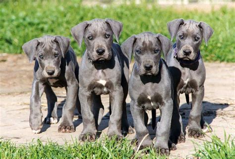 Danes Has A New by Great Dane All Big Breeds