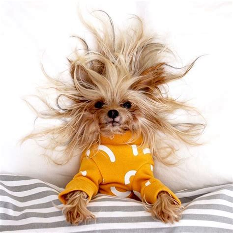 san diego yorkie this stylish yorkie to show different hairstyles pleated