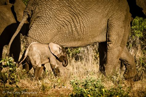 mission elephant rescue mission 1426318030 an elephant rescue mission saves a calf in trouble africa geographic