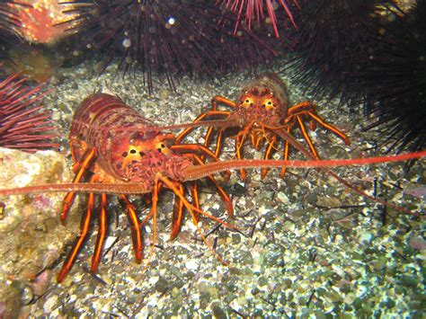 Southern California Crustaceans The Heiress Crab by Bugs