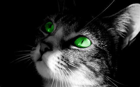 imagenes de ojos verdes de gatos fondo pantalla gato ojos verdes