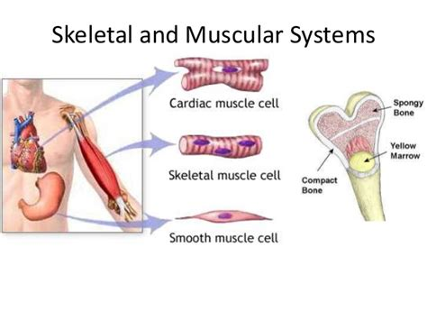 A Tour Of Your Muscular And Skeletal Systems muscular and skeletal systems