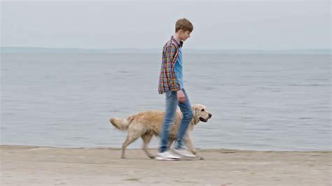 walking golden retriever puppy tracking of boy walking his golden retriever without leash along on