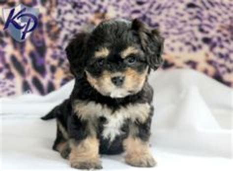 havanese vs cockapoo cavashon puppie 10 weeks king charles cavalier plus a bichon frise and these are
