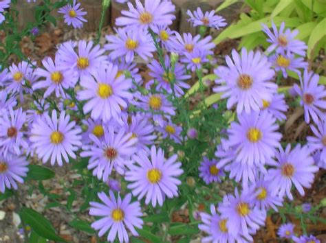 smooth blue aster wildflower garden around the house