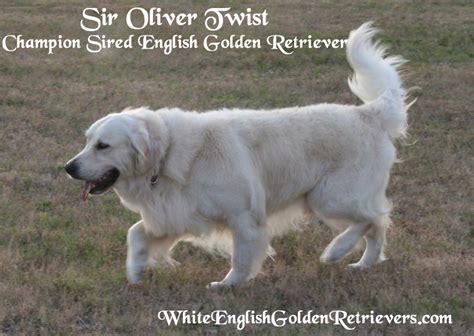 white golden retriever puppies florida golden retriever puppies breeders retrievers breeds