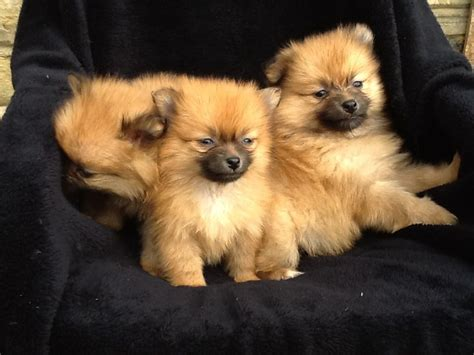 teddy pomeranian breeder real fluffy teddy pomeranian puppies leeds west pets4homes