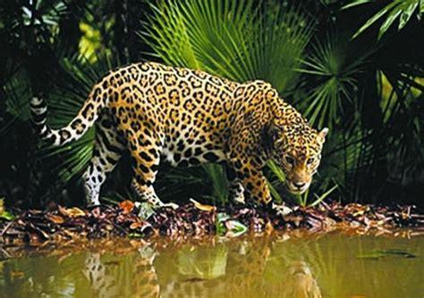 el jaguar panthera onca mascotas taringa curiosidades del amazonas y sus especies taringa