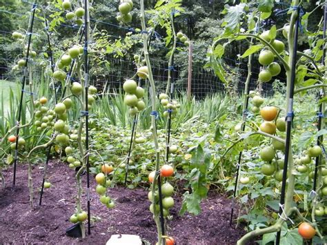 Wie Pflanze Ich Tomaten 4086 by R 252 Ben Forum Tomaten 2010