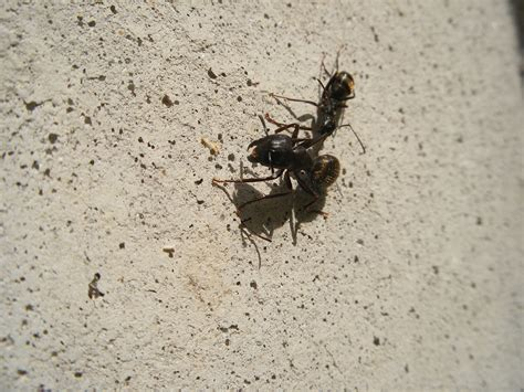 carpenter ants in bathroom carpenter ants are awake colonial pest control