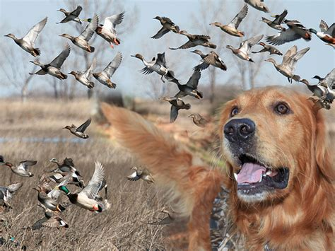 puppies unlimited ducks unlimited explore dglassme s photos on flickr d flickr photo