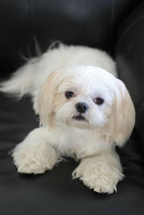 shih tzu pros and cons dogs like shih tzu breeds picture