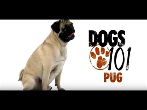 pug issues pug dogs 101 doovi