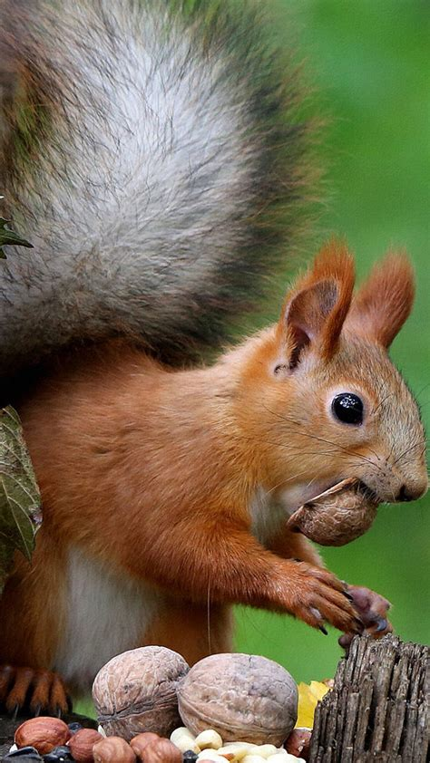 brown squirrel  tree trunk eating nuts hd animals