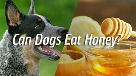 can dogs honey can dogs eat honey pet consider