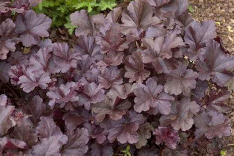 perennial foliage plants perennials rochester ny putte gardens