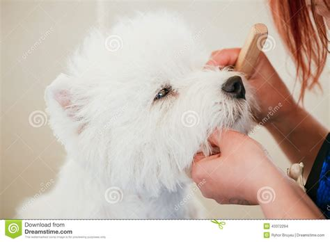 close cut westie pics west highland white terrier dog stock photo image 43372294