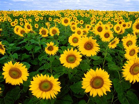 info lengkap mengenai bunga mawar selingkaran com info lengkap mengenai bunga matahari selingkaran com