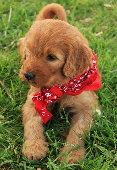 irish setter doodle puppies for sale irish doodle irish setter poodle mix facts temperament