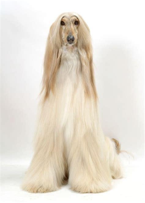 afghan breeds 23 best dogs afghan hound images on afghans bedspreads and blankets