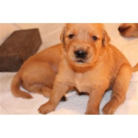golden retriever puppies boise idaho golden retriever breeder in boise idaho listing id 21027