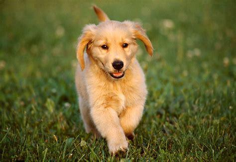 golden retriever puppies running floppy ears animal stock photos kimballstock