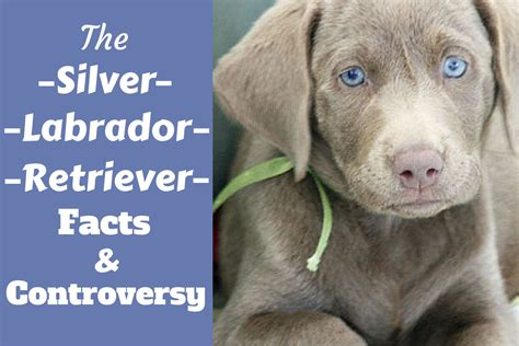 colors of labs silver labrador retriever facts about silver labs you
