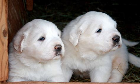 great puppy names great pyrenees mountain names breeds picture