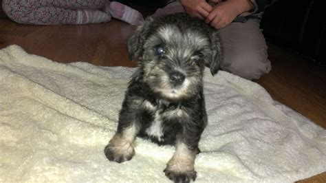 miniature schnauzer puppies for sale in california miniature schnauzer puppies for sale nuneaton warwickshire pets4homes